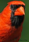 20090801 090 Northern Cardinal (M) - SERIES.jpg