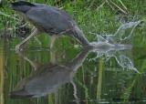 20090726 206 Great Blue Heron.jpg