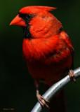 20090801 095 Northern Cardinal (M).jpg
