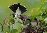 20090713 571 Eastern Kingbirds.jpg