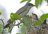 20090714 027 Eastern Kingbirds.jpg