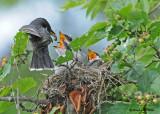 20090713 304 Eastern Kingbirds - SERIES.jpg