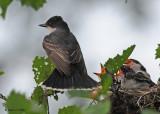 20090713 034 Eastern Kingbirds - SERIES.jpg