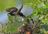 20090713 404  Eastern Kingbirds - SERIES.jpg