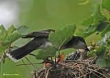 20090708 237 Eastern Kingbirds - SERIES.jpg