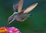 20090825 118 Ruby-throated Hummingbird.jpg