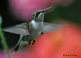 20090830 019 Ruby-throated Hummingbird.jpg
