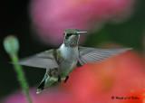 20090830 022 Ruby-throated Hummingbird.jpg