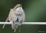 20090828 418 Ruby-throated Hummingbird - SERIES.jpg