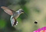 20090831 134 Ruby-throated Hummingbird.jpg