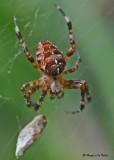 20090822 042 Garden-cross Spider - SERIES.jpg