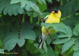 20090701 154 American Goldfinch.jpg
