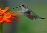 20090828 285 002 Ruby-throated Hummingbird.jpg