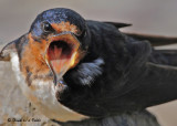 20090921 023 Barn Swallow.jpg
