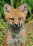 20090626 551 Red Fox Pup.jpg
