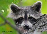 20090923 038 Raccoon - SERIES.jpg