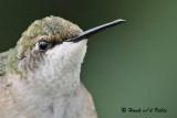20090828 412 Ruby-throated Hummingbird - SERIES.jpg