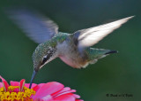 20090825 117 Ruby-throated Hummingbird.jpg