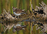 20090919 300 Killdeer.jpg