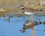 20090912 826 Killdeer.jpg