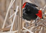 20090419 054 Red-winged Blackbird (M).jpg