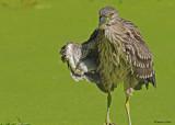 20090824 438 Black-crowned Night-Heron (juv) - SERIES.jpg