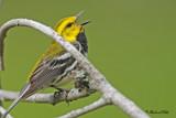 20100609 266 Black-throater Green Warbler.jpg