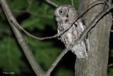 20100617 095 Screech Owl SERIES.jpg