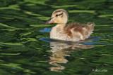 20100608 050 Lost Duckling.jpg