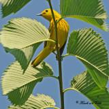 20100617 033 Yellow Warbler.jpg