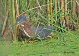 20100630 092 Green Heron.jpg