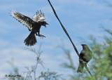20100704 040 Leucistic Crow SERIES.jpg