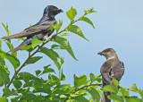 20100710 054 Purple Martins SERIES.jpg