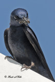 20100710 013 Purple Martin SERIES.jpg