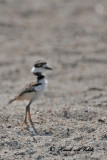 20100703 345 Killdeer - juv.jpg