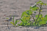 20100703 349 Killdeer - juv.jpg