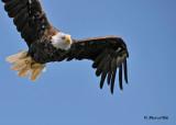20100731 - 1 326 Bald Eagle 2.jpg