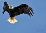 20100731 - 1 364 Bald Eagle 2 .jpg
