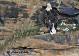 20100731 - 2 239 Bald Eagle 1c .jpg