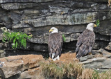 20100731 - 2 201 Bald Eagles.jpg