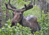 20100731 - 3 078 Moose 1c.jpg
