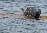 20100731 - 2 433 Grey Seal SERIES.jpg