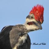 20100811 333 Pileated Woodpecker SERRIES.jpg