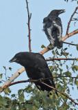 20100809 335 Leucistic Crow 1c1 SERIES.jpg