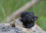 20100825 171 Black (melanistic) Chipmunk SERIES.jpg