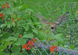 20100824 - 2 253 White-tailed Deer SERIES.jpg