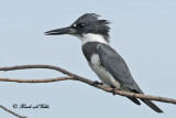 20100903 312 Belted Kingfisher 1b SERIES.jpg