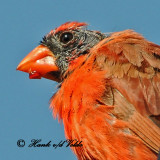 20100820 170 Northern Cardinal SERIES.jpg