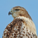 20100902 057 Red-tailed Hawk NX2.jpg