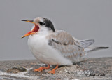 20100721 137 Common Tern - juv SERIES.jpg